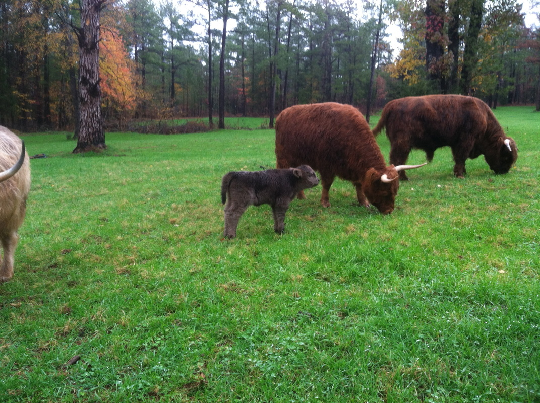 benefits of highland cattle young sprout farms